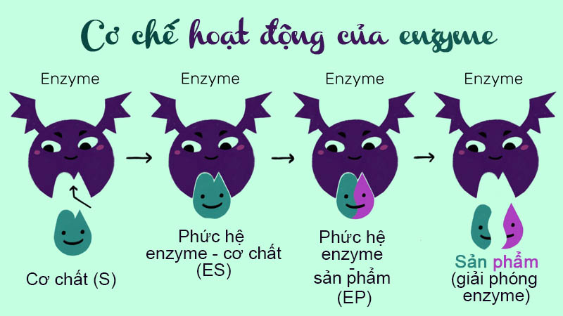 Cơ chế hđ của enzyme VIVITA
