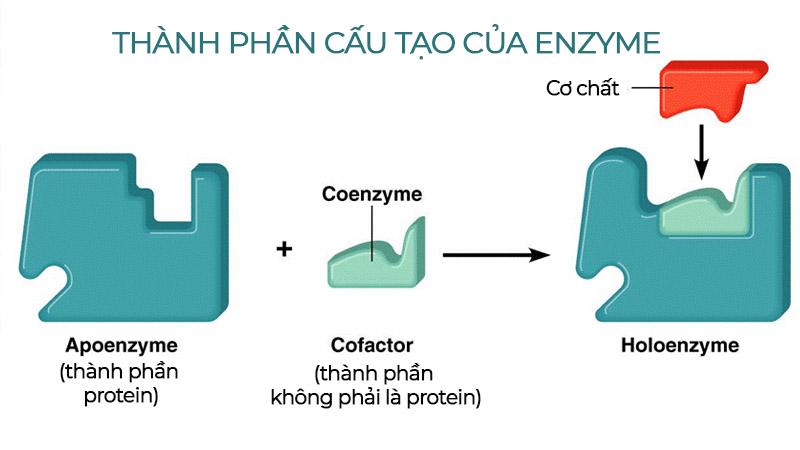 thành phần cấu tạo của enzyme vivita