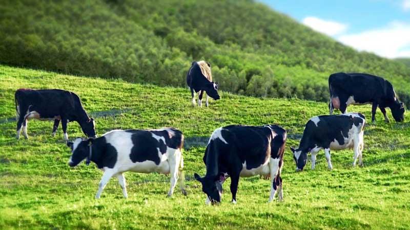 sữa bò Úc
